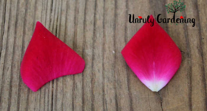 Two rose petals side-by-side. One has the white tip properly cut off- the other is whole.