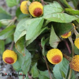 photo of spilanthes