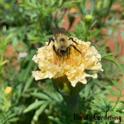 A bumblebee perched atop a white marigold blossom.