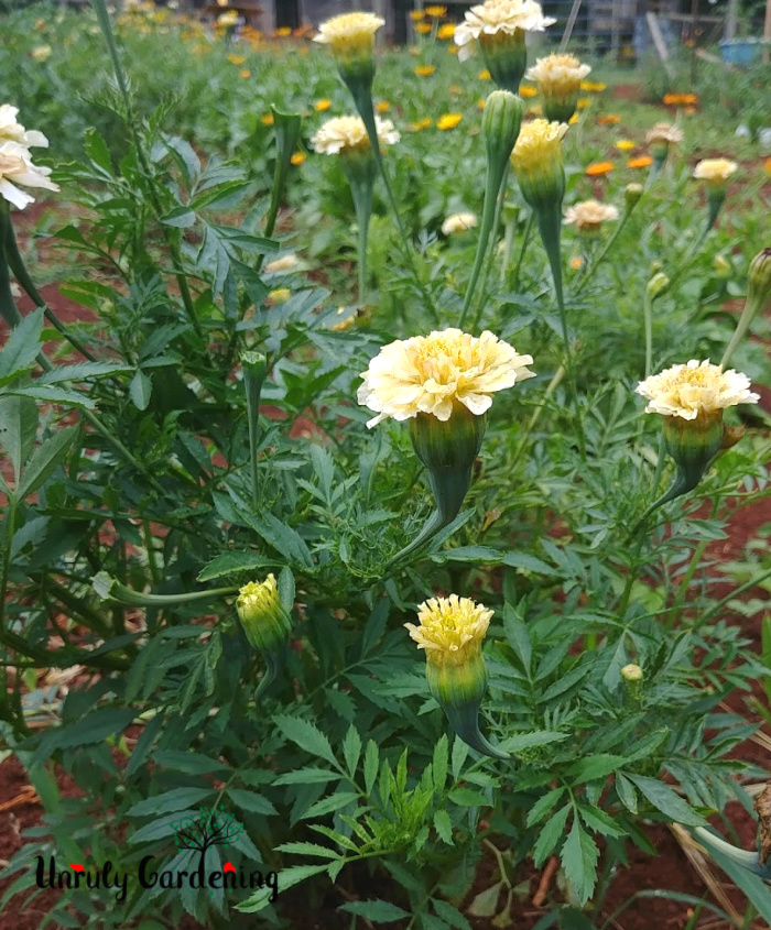 White marigolds and buds.