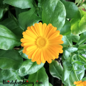 Resina calendula flower, up close, focused on the open face of the flower.