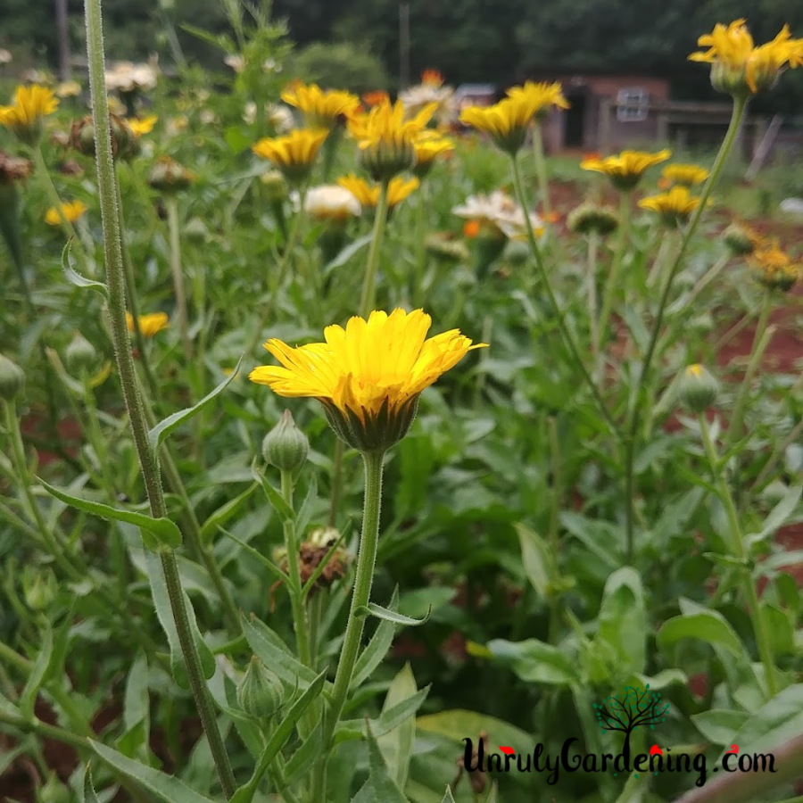 Resina calendula plants- one flower in close focus, with other calendula plants visible in the background.