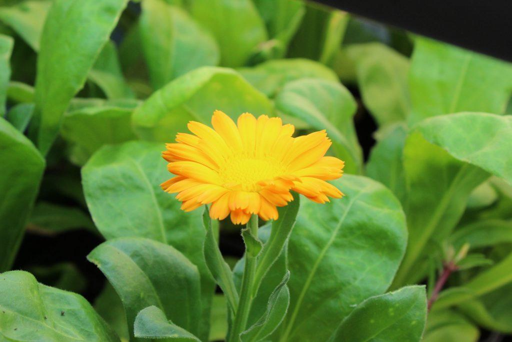Resina calendula flower, underneath grow lights.