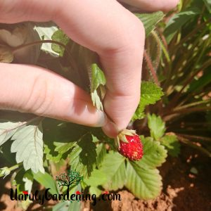 Close-up image of a ripe Alexandria alpine strawberry, held out by two fingers.