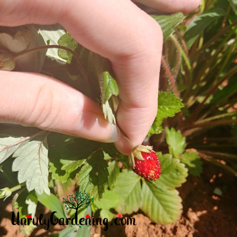 Alexandria Alpine Strawberries – Plant Spotlight