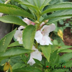 A balsam plant, most of the picture being leafy green, with four visible pale pink flowers and a handful of buds.
