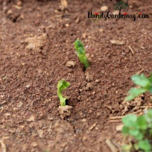 Two pea sprouts pushing out of red soil.