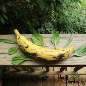 a plantain on a weathered wooden porch railing, surrounded by plantain leaves.