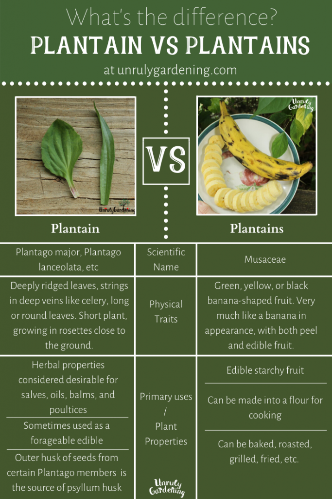 A pinterest pin comparing herbal plantain with fruit plantain: the background of the pin is dark green, with white details and words.