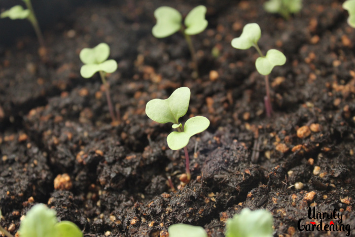 An image of small brassica sprouts, growing out of seed blocks. The image is focused on one particular sprout that is just growing its first tiny true leaf.
