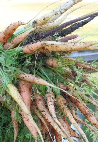 A bundle of colorful carrots, held in a single hand. There are white, yellow, orange, and a few purple carrots; in the background, there is a weathered railing and the distant blur of a grassy yard.