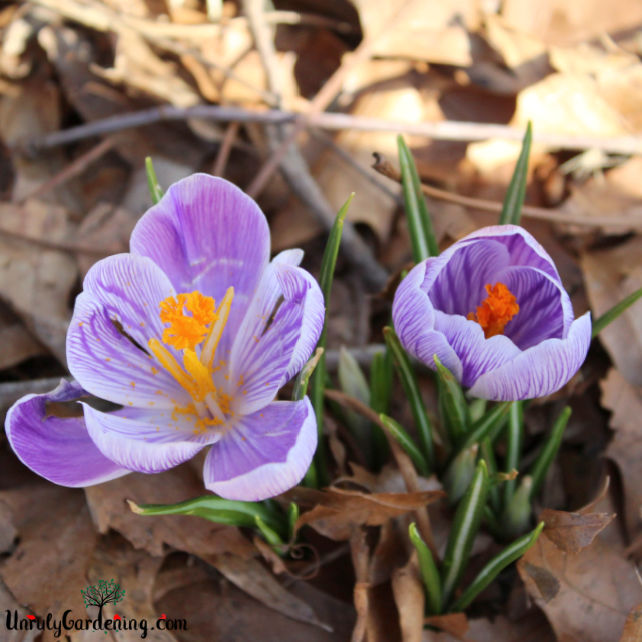 An image of two crocus flowers against a backdrop of brown fallen leaves.