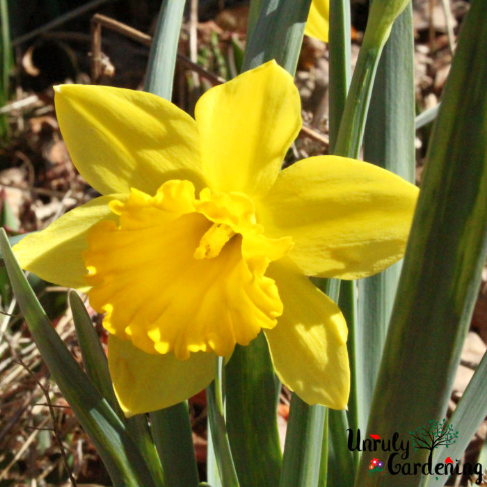 Image of a single daffodil in front of green daffodil leaves. Dead brown leaves are in the background.