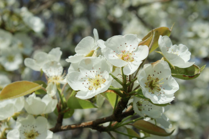 Picture of a branch of pear blossoms.  The flowers are white, with dappled shadows and the distant, blurry shapes of more blossoms visible behind.