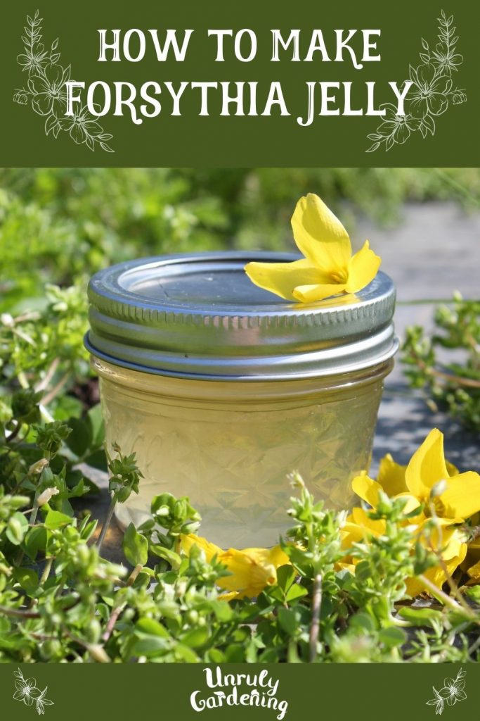 Image is of a forsythia jelly pinterest pin. The head and foot of the image is a deep forest green, with white botanical graphics, the unrulygardening logo, and the words 'how to make forsythia jelly'. The image in the middle is of a light yellow jelly in a jar with forsythia flowers on and around it.