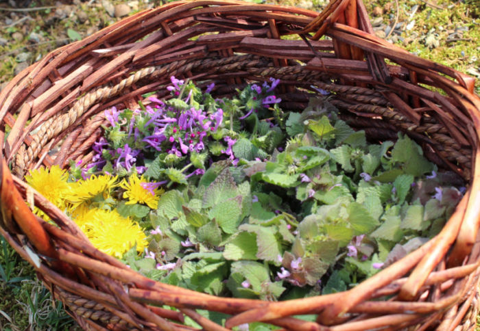 A brown basket filled with herbs- a solid half is full of blooming purple deadnettle, on the right-hand side. On the upper left, there is henbit. On the lower left, there is dandelion flowers.
