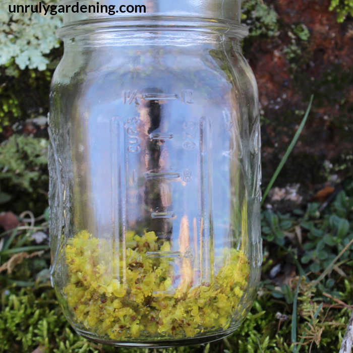 Image of a jar of spicebush flowers against a rock. Light green lichen is in the upper left corner.