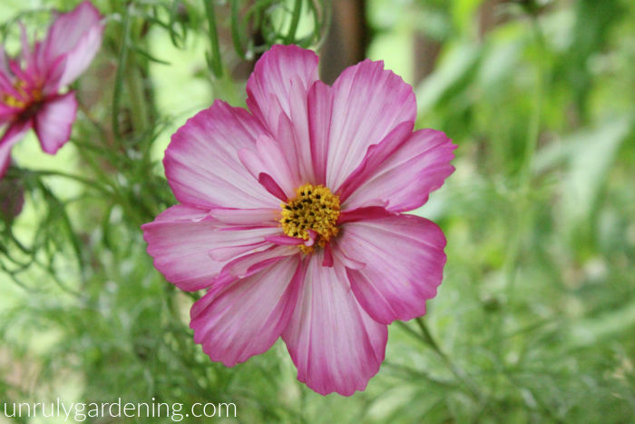 Image is of a blooming cosmos. The cosmos is magenta around the edges, streaky medium-pink against pale pink, and yellow in the middle. Ferny green leaves are blurred in the background.