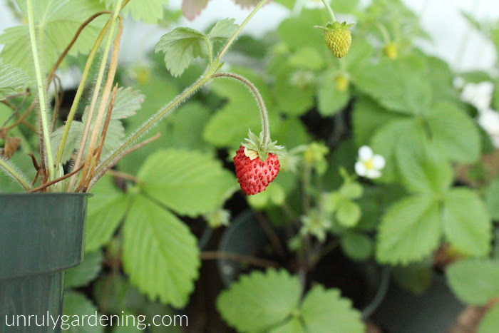 Image of a single half-ripe alpine strawberry, attached to the vine. In the background many blurred pots of strawberry leaves are visible.