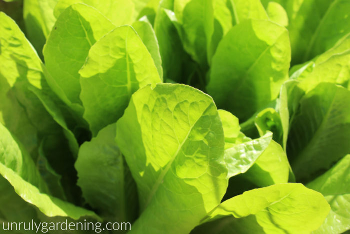 Picture filled completely with green lettuce leaves. Part of the green is harsh, while other is in shadow.