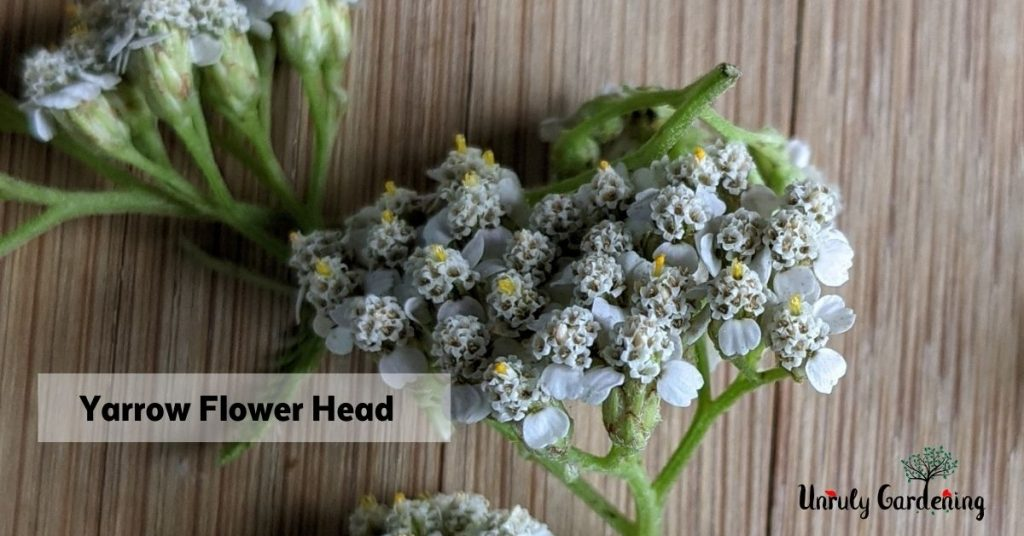 closeup photo of yarrow flower heads