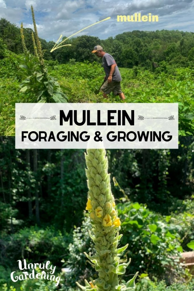 man standing beside mullein growing in a field of kudzu, closeup of mullein flower spike