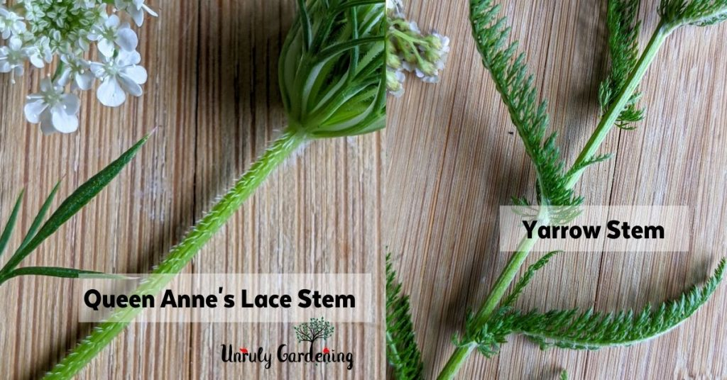 comparison of Queen Anne's Lace Stem and Yarrow Stem