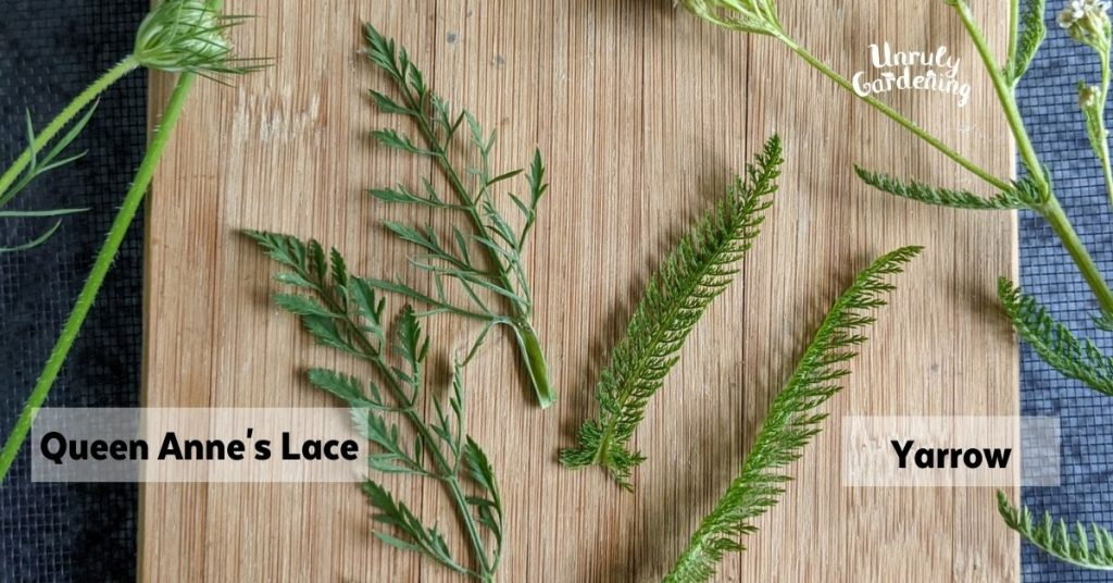 Queen Anne's Lace and Yarrow Leaves