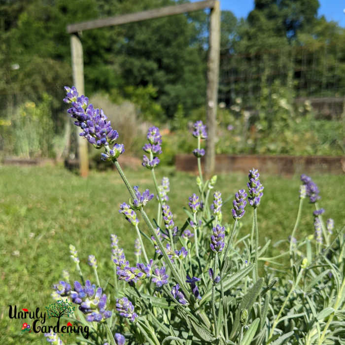 SuperBlue Lavender