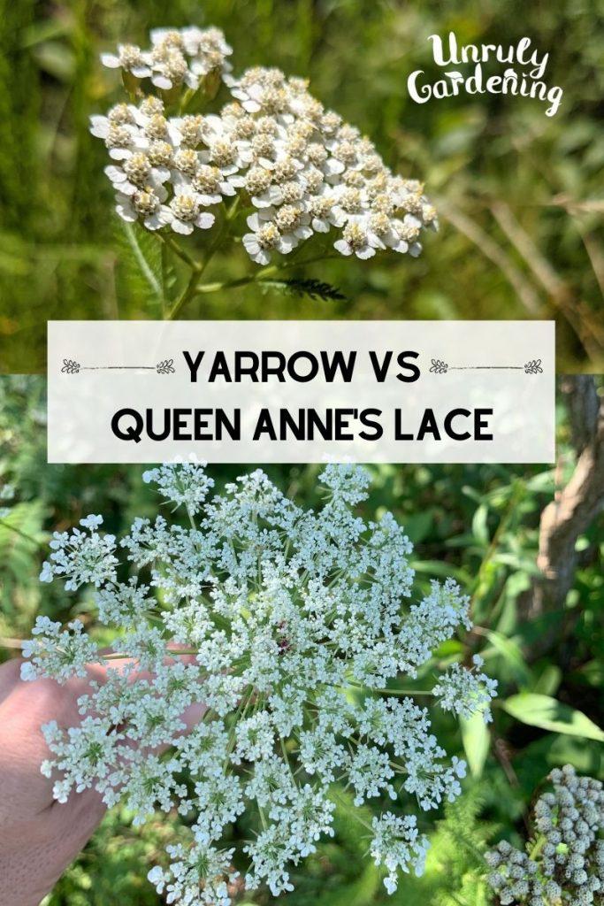 yarrow flower head and queen anne's lace flower head