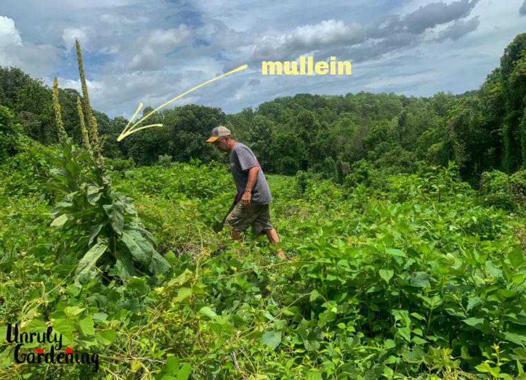 mullein plants growing in kudzu
