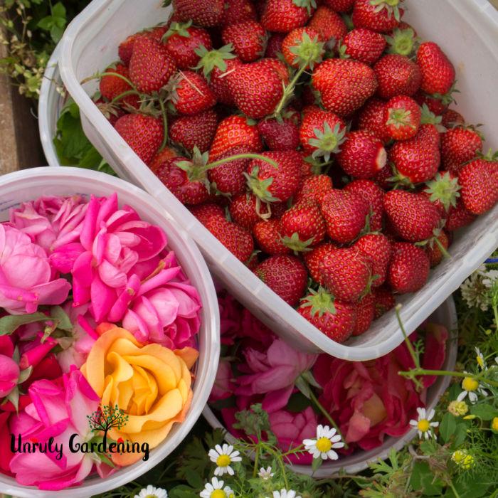 ingredients for making strawberry rose freezer jam