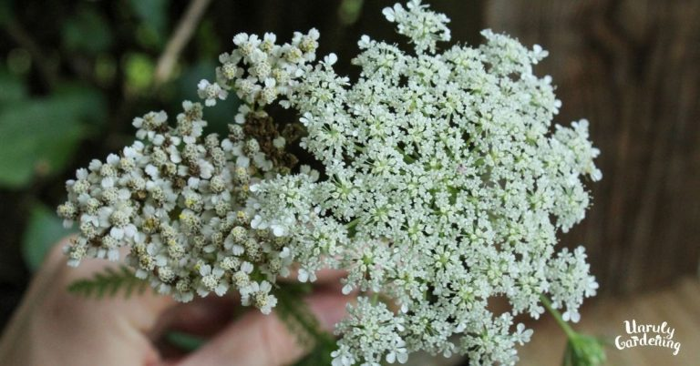 yarrow and queen anne's lace flowers