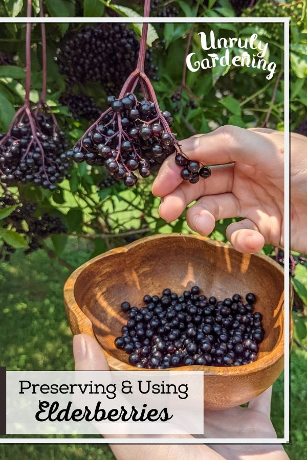 woman's hand harvesting ripe elderberries into a wooden bowl