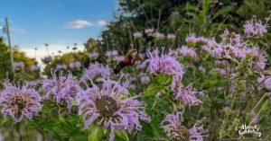 hummingbird moth enjoying bee balm flowers
