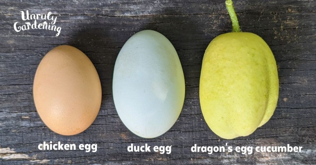 a chicken egg, beside a duck egg, beside a dragon's egg cucumber, showing size difference