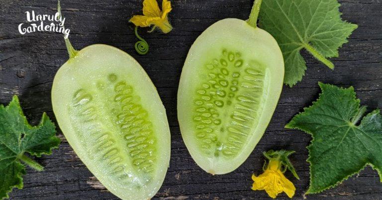 Growing Dragon's Egg Cucumbers