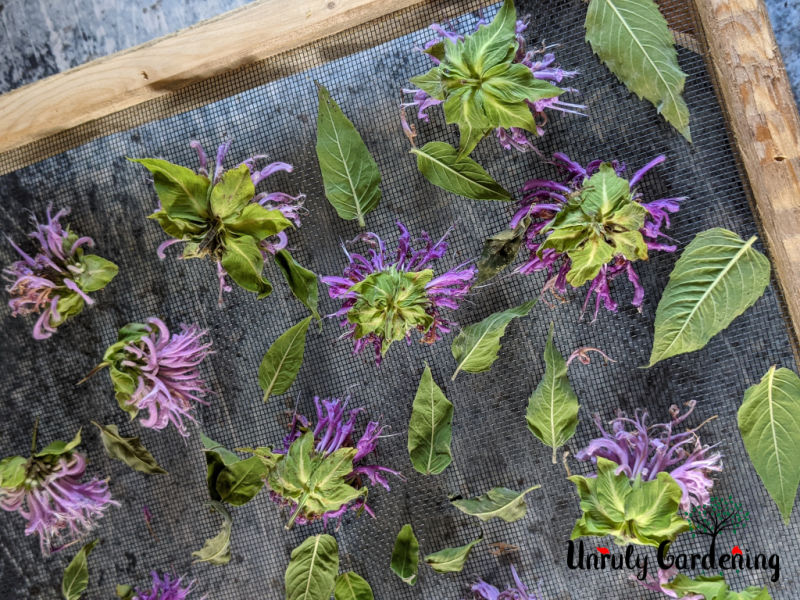 drying screen covered with bee balm flowers and leaves