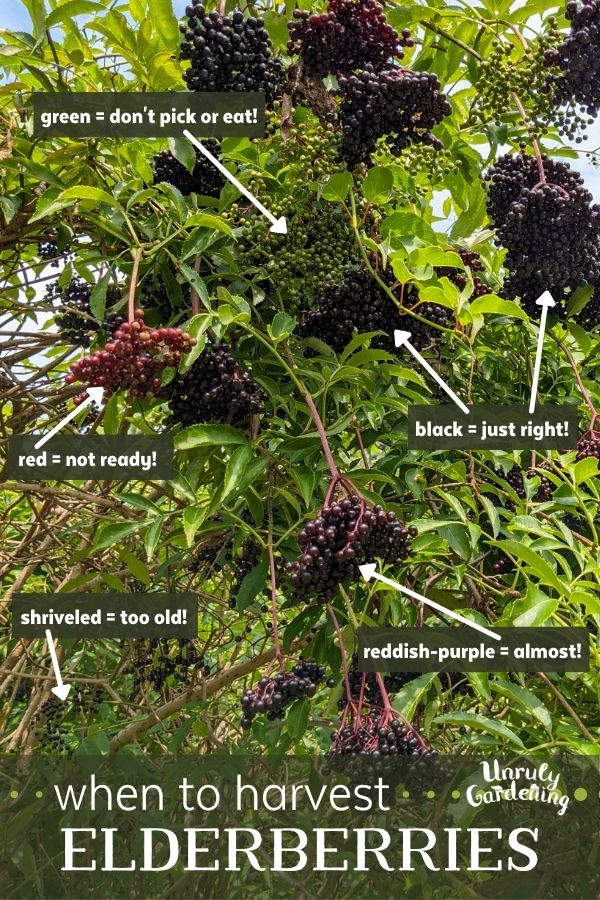 elderberries at different stage - green and red, shriveled and old, red-purple, and black