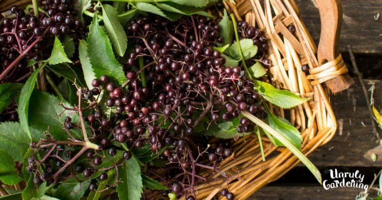 basket of fresh elderberries