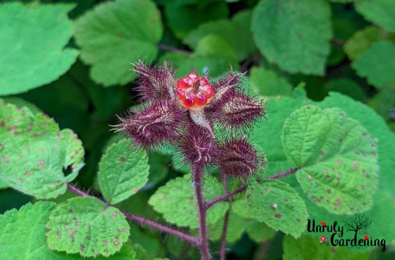 immature wineberries covered with purplish hairy calyx