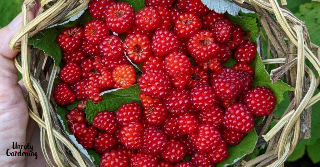 basket of wineberries