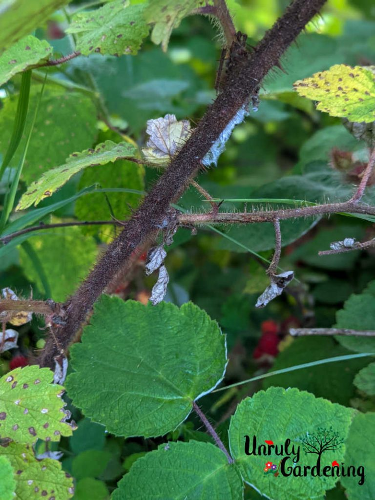 wineberry cane surrounded by fresh wineberry leaves