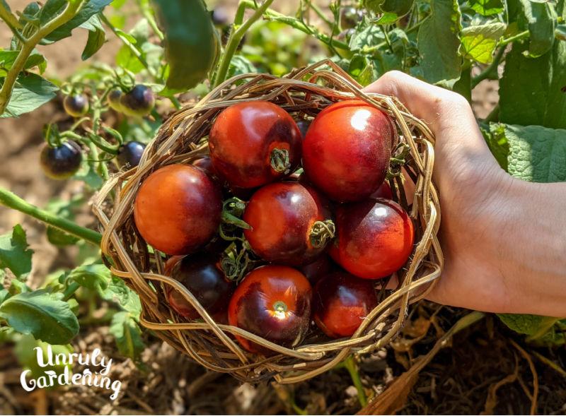 woman's hand holding basket of Indigo Rose Tomatoes