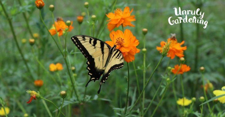 Growing Sulfur Cosmos – Pollinator Plant Profile