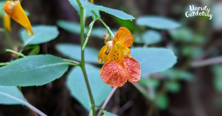 closeup of jewelweed flower