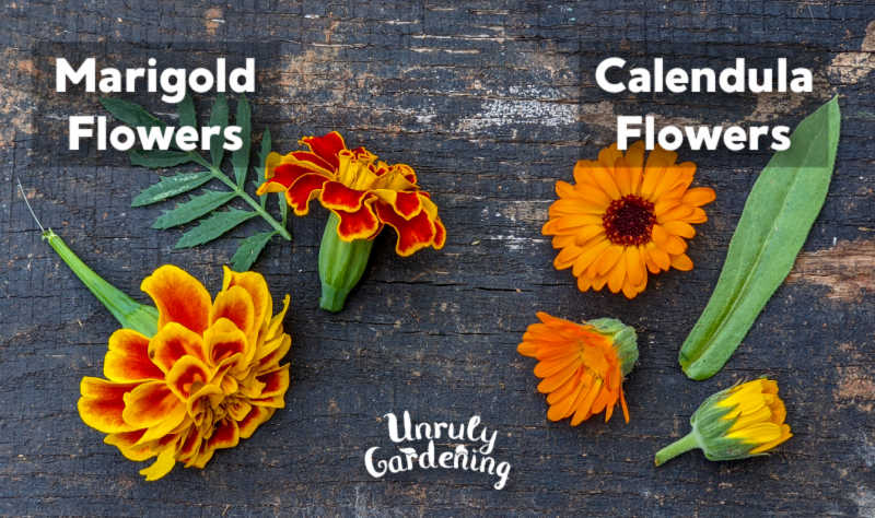 marigold flowers and calendula flowers on wooden background