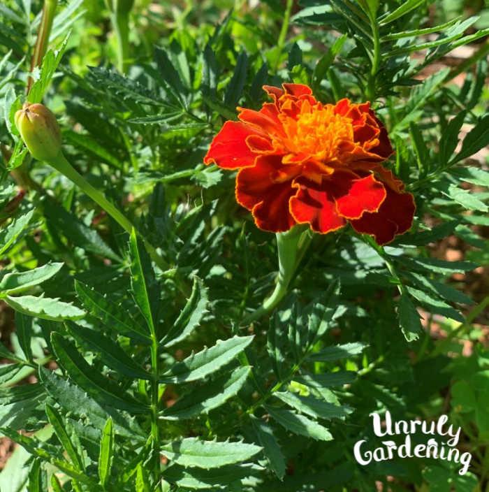 a red-orange marigold flower