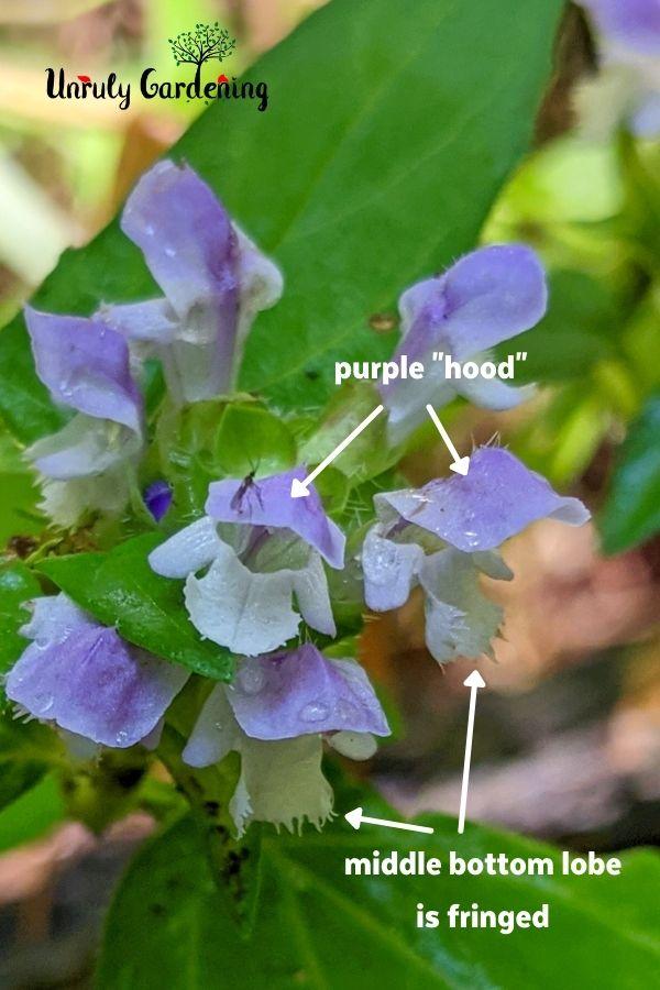 parts of self heal flowers