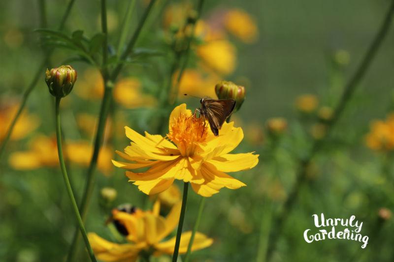 skipper butterfly on an yellow wildflower